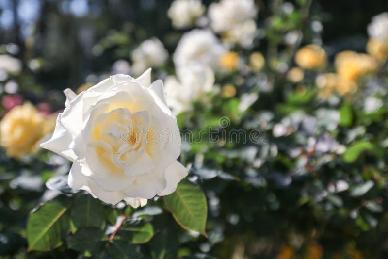 在树的看法美丽的白玫瑰 免版税库存图片