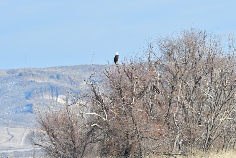 在树的秃头老鹰乐队冠上 库存图片