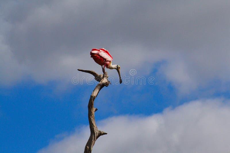 在树的粉红琵鹭 库存图片