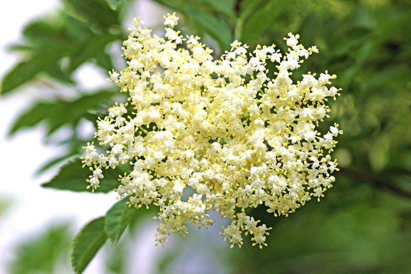 在树的精美elderflower 库存图片