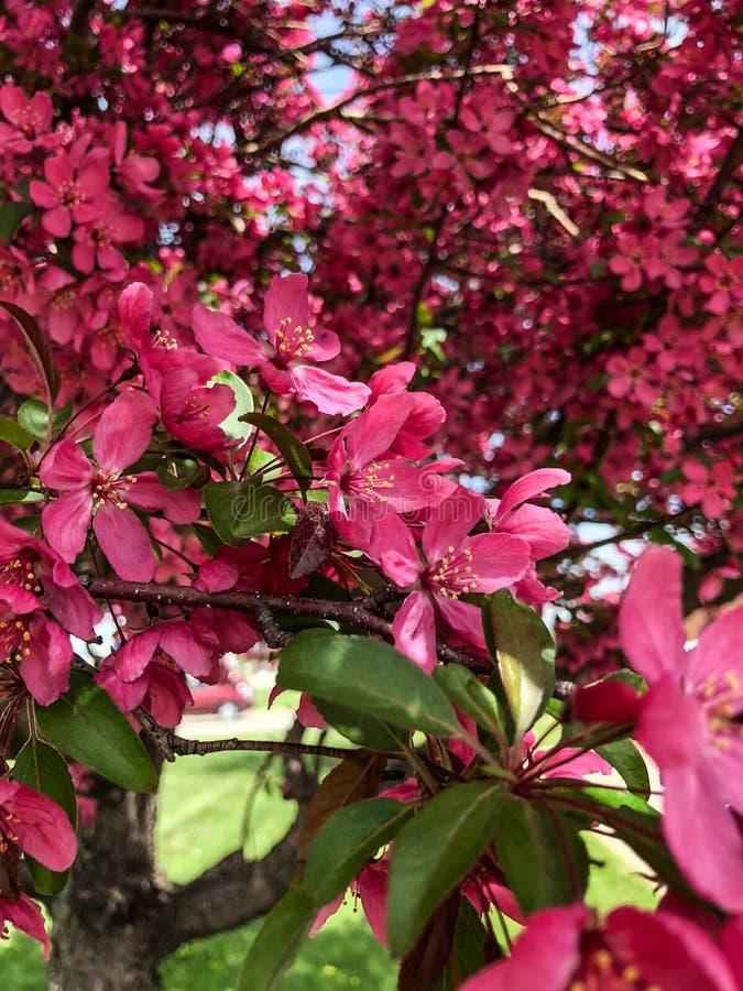 在树的紫红色的花开花 库存图片