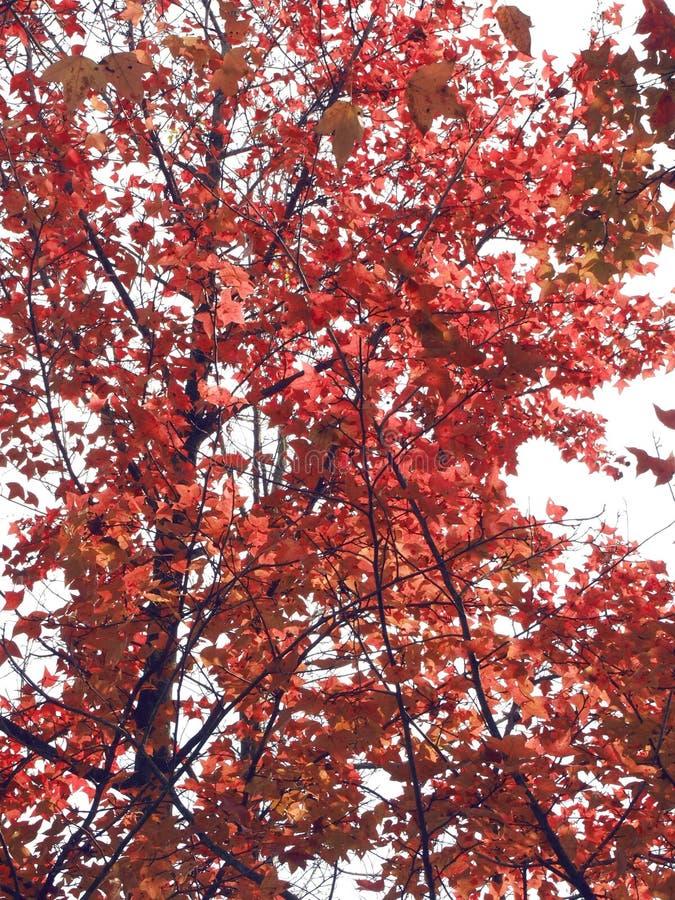 在树的红色叶子 免版税库存照片
