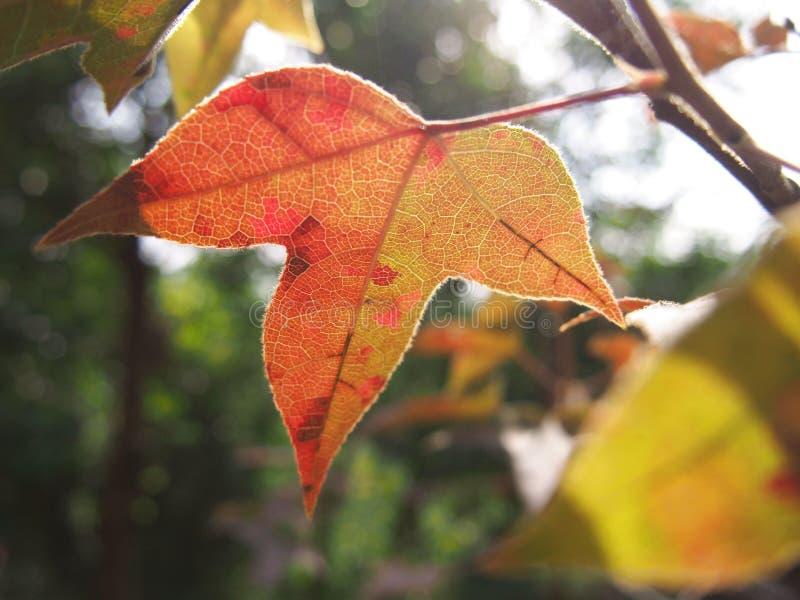 在树的红色叶子 免版税库存图片