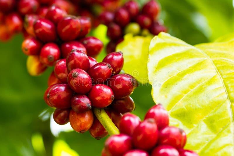 在树的红色咖啡豆 库存照片