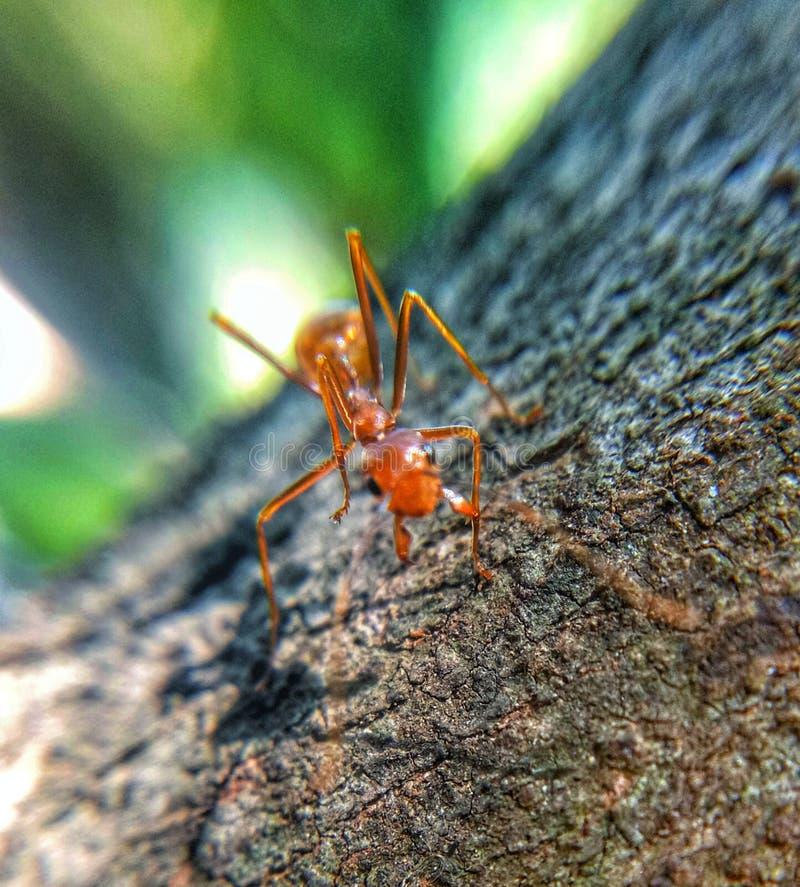 在树的红色蚂蚁 图库摄影