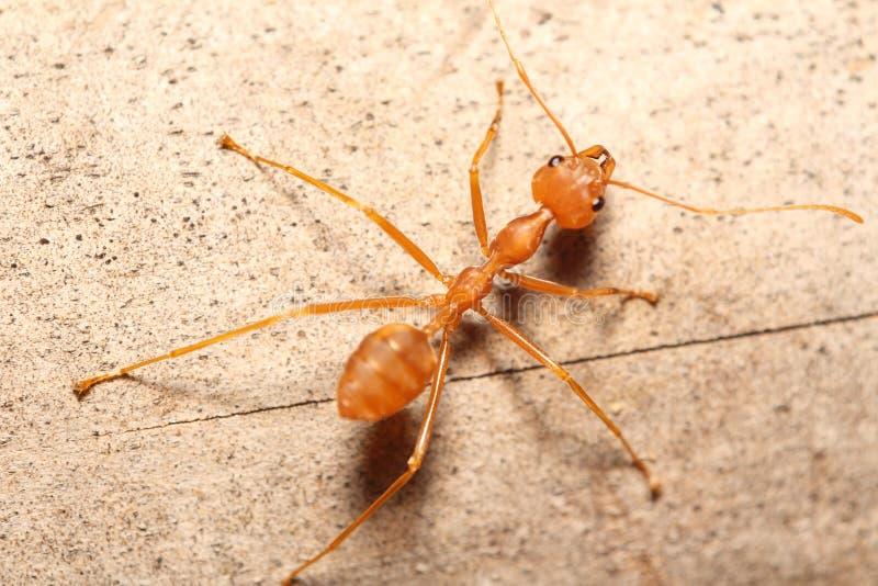在树的红色蚂蚁 免版税库存图片