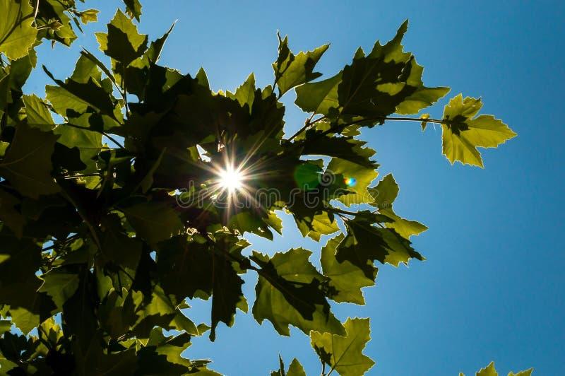 在树的绿色叶子的后太阳火光 免版税库存照片