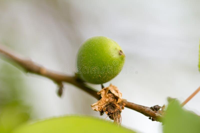 在树的绿色杏子 免版税库存图片