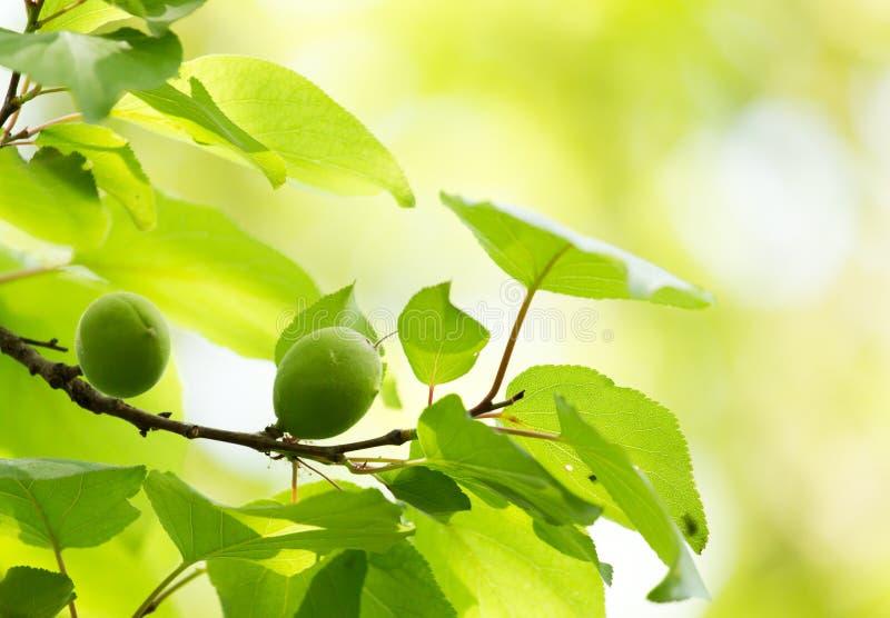 在树的绿色杏子 免版税库存照片