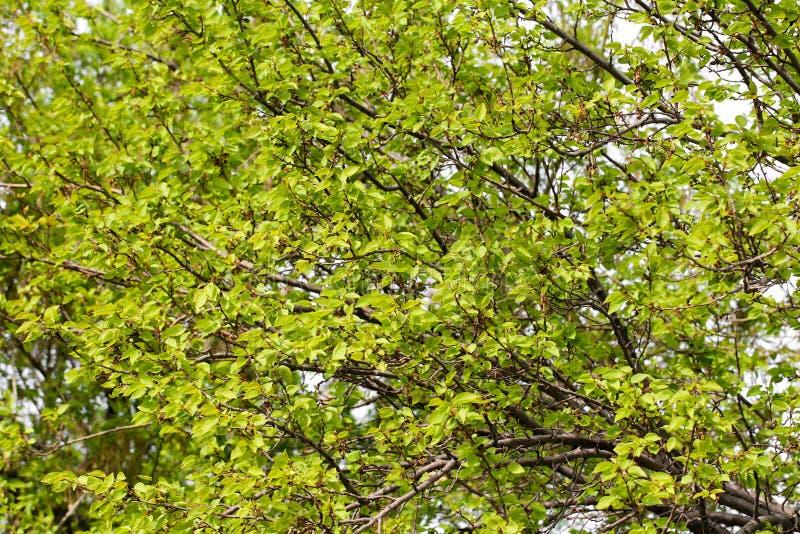 在树的绿色杏子 库存图片
