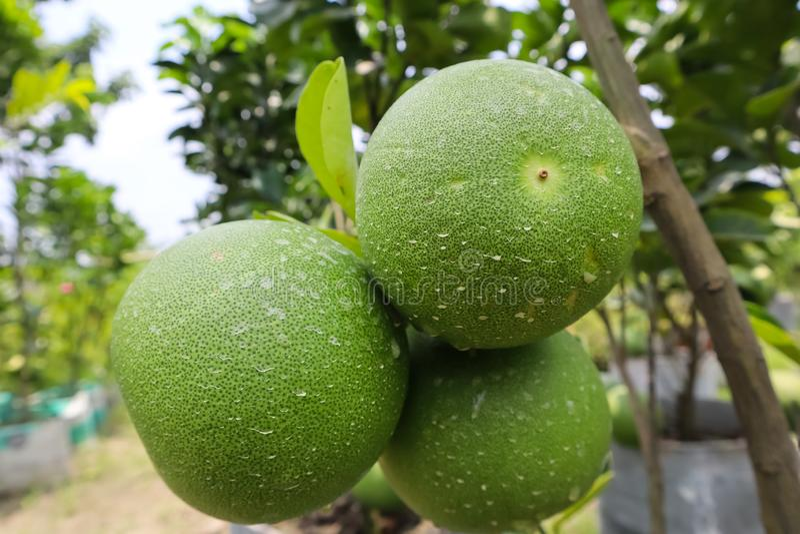 在树的绿色柚果子 库存图片
