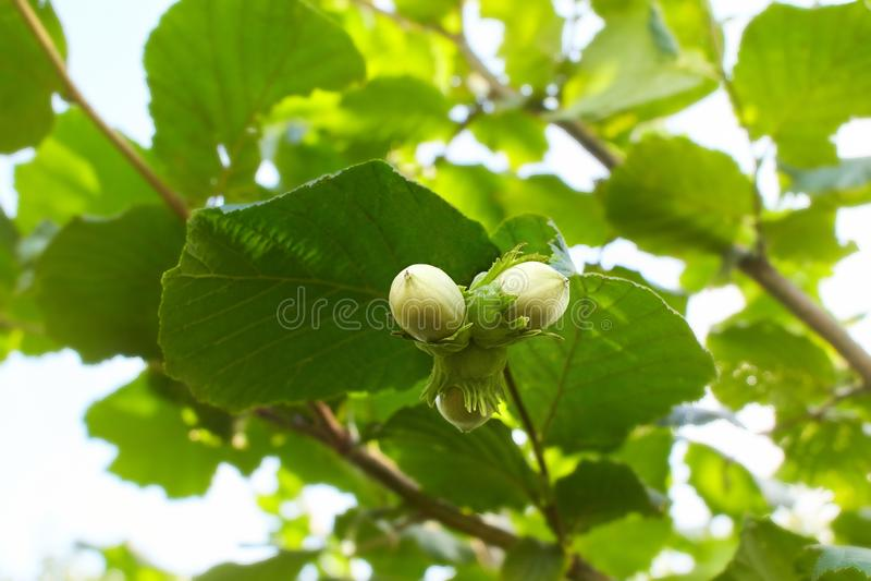 在树的绿色榛子 欧洲榛树生长的坚果 免版税库存图片