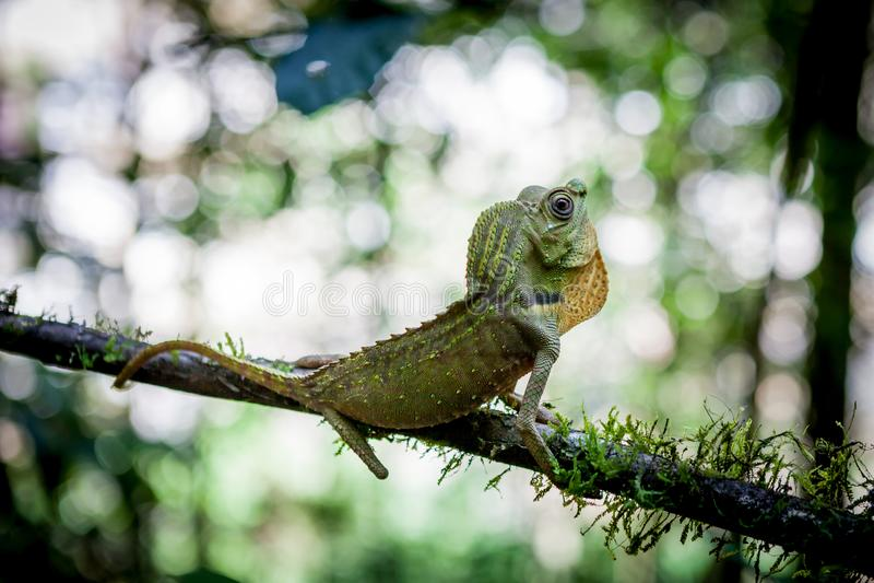 在树的绿蜥蜴 美丽的特写镜头动物爬行动物在自然野生生物栖所, Sinharaja,斯里兰卡 免版税库存图片