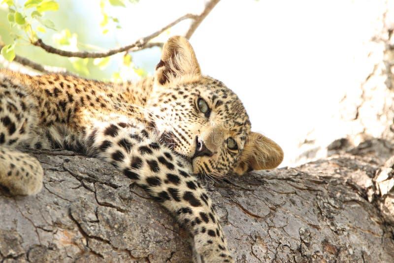 在树的美丽的幼小豹子在南非徒步旅行队野生生物比赛驱动 库存照片
