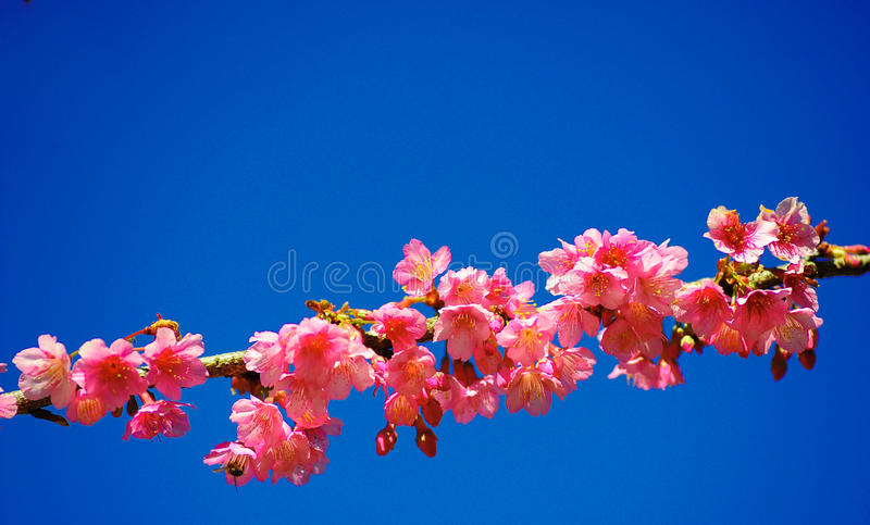 在蓝天的美丽的樱桃或佐仓开花。 免版税库存图片