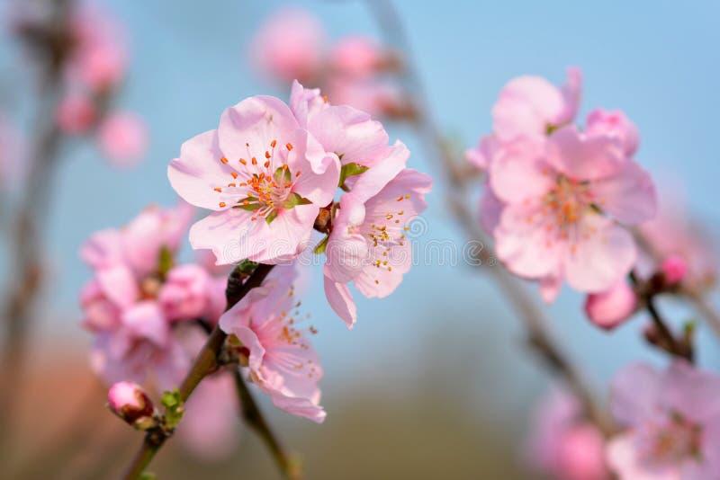 在树的美丽的欧洲桃红色李子开花花在模糊的蓝色背景的早期的春天 免版税图库摄影