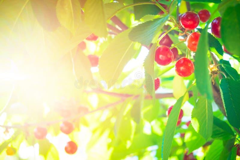 在树的美丽的红色樱桃与叶子 免版税库存照片