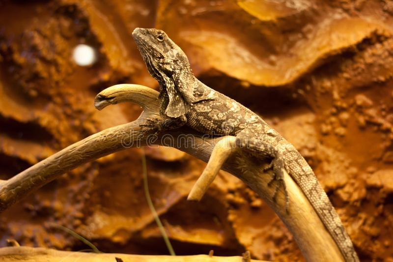 在树的美好的蜥蜴身分 免版税库存图片