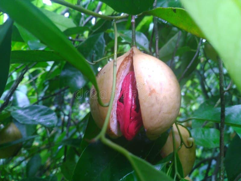 在树的肉豆蔻果子和准备好落 免版税库存照片