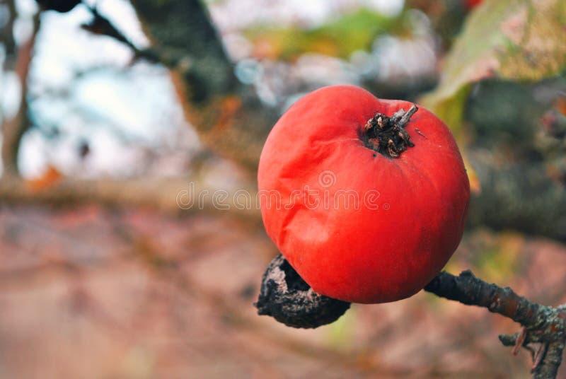 在树的腐烂的红色苹果,关闭细节,软的模糊的灰色背景 免版税库存图片