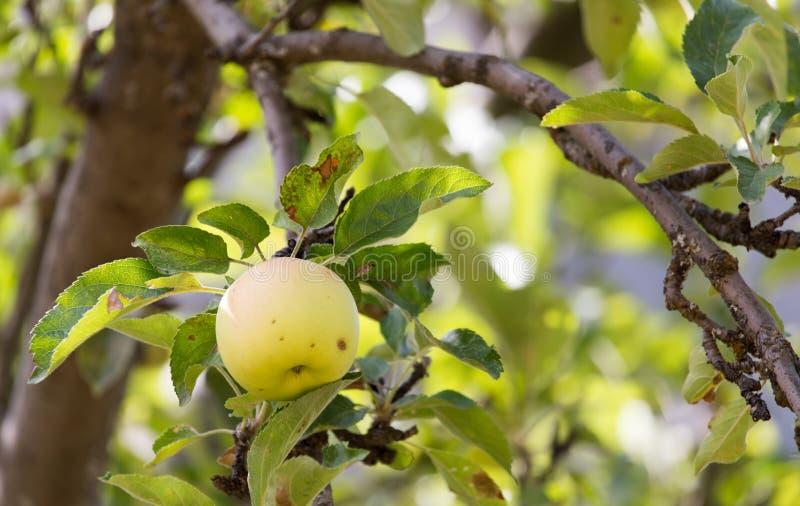 在树的苹果计算机本质上 免版税库存照片