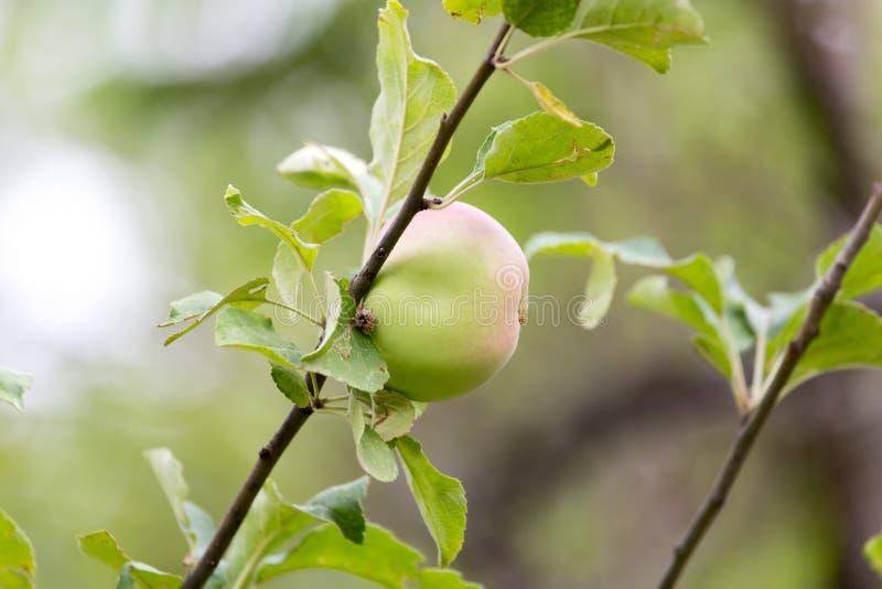 在树的苹果计算机本质上 库存图片