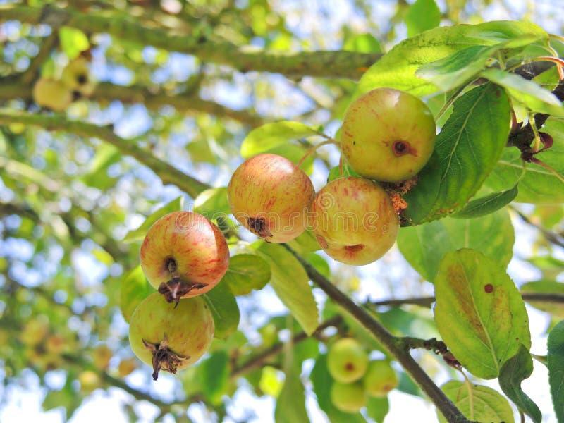 在树的苹果酒在卡尔瓦多斯地区 免版税库存图片
