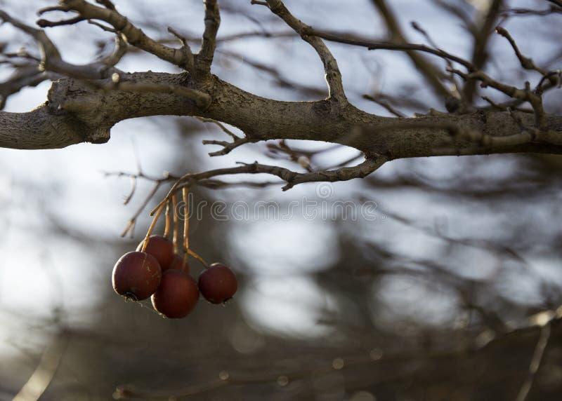 在树的莓果 免版税库存图片