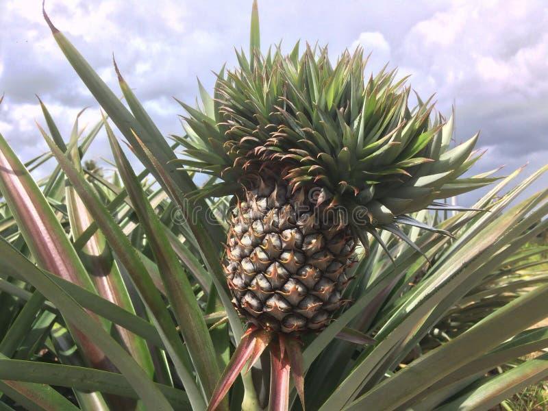 在树的菠萝在庭院里 免版税库存图片