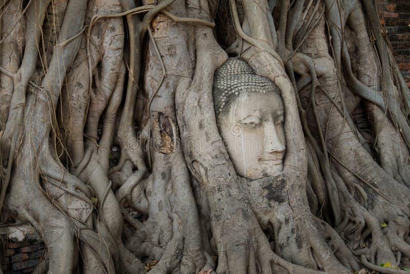 在树的菩萨头根源在寺庙 库存图片