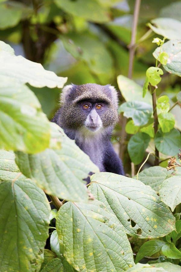 在树的蓝色猴子 图库摄影