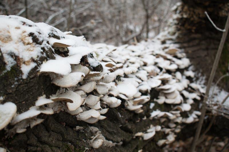 在树的蘑菇在一个冷淡的雪冬日在森林里 库存图片