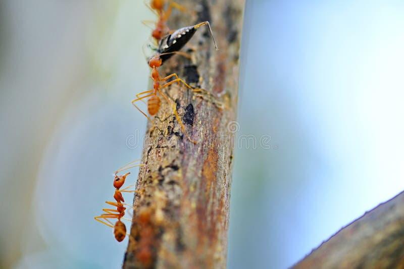 在树的蚂蚁运载昆虫去筑巢 免版税库存图片