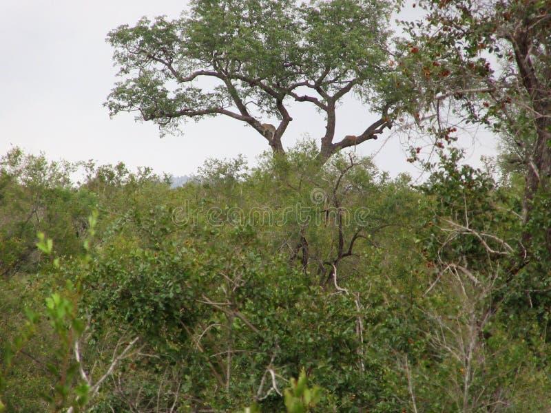 在树的被看见的豹子 图库摄影