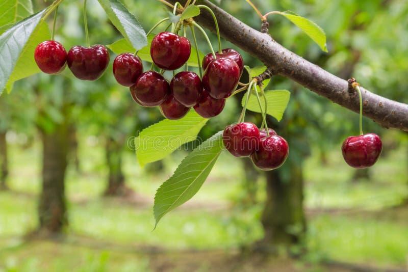 在树的被隔绝的红色樱桃在樱桃园 免版税图库摄影
