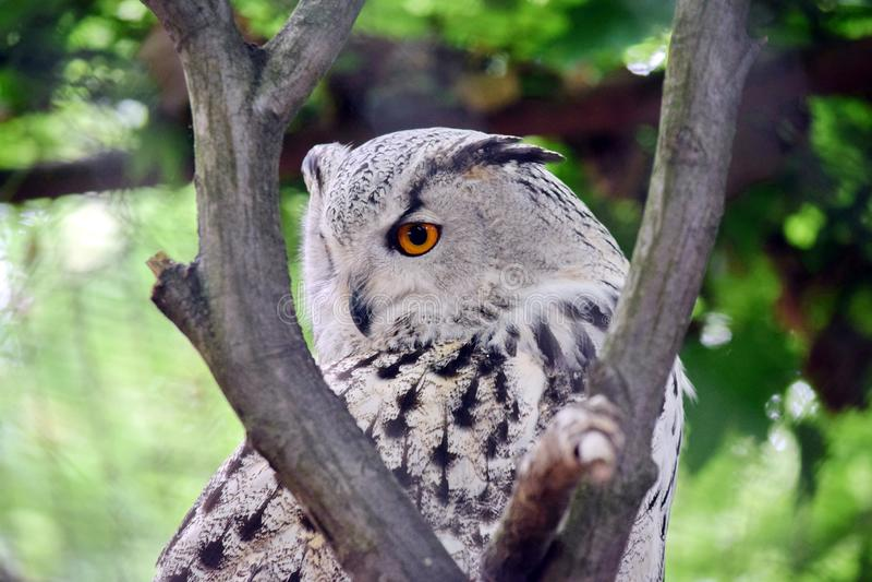 在树的西伯利亚猫头鹰腹股沟淋巴肿块腹股沟淋巴肿块Sibiricus 免版税库存图片
