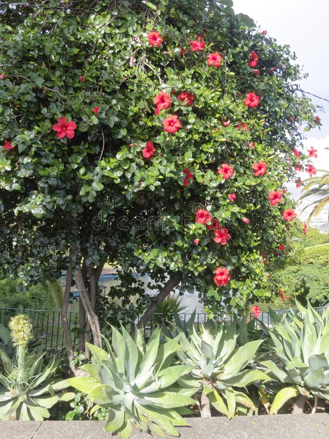 在树的许多木槿 免版税库存图片