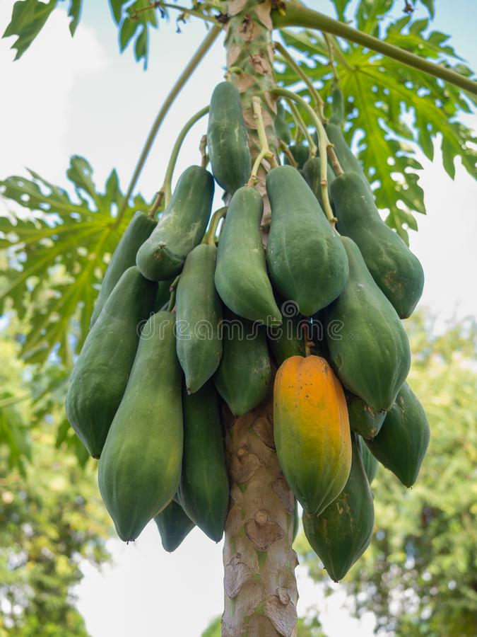 在树的许多绿色番木瓜 库存图片