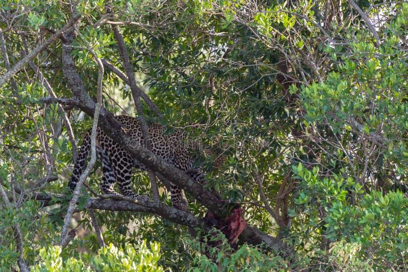 在树的豹子等待的牺牲者 肯尼亚mara马塞语 免版税库存图片