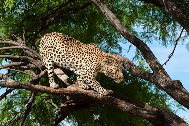 在树的豹子 免版税库存图片