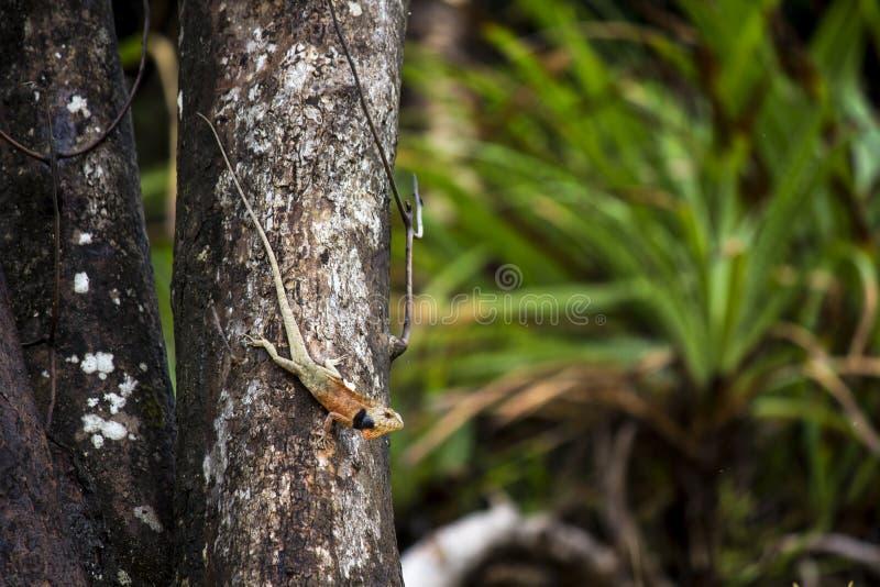 在树的野生变色蜥蜴 免版税图库摄影