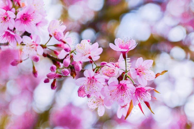 在树的野生喜马拉雅樱桃在清迈府,泰国 开花在冬天期间的泰国佐仓在泰国 免版税库存图片
