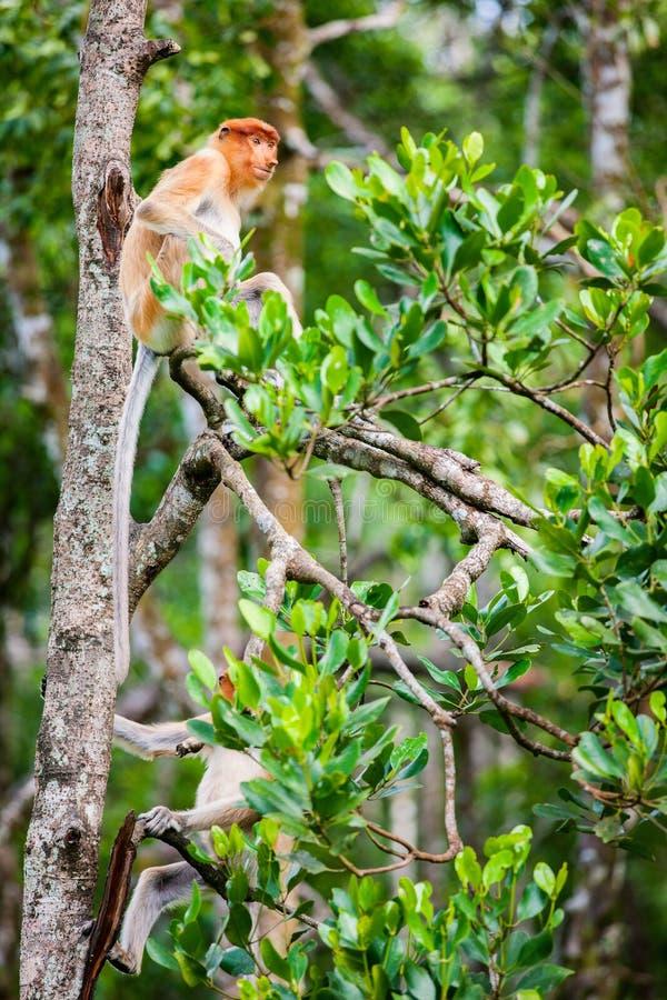 在树的长鼻猴 图库摄影