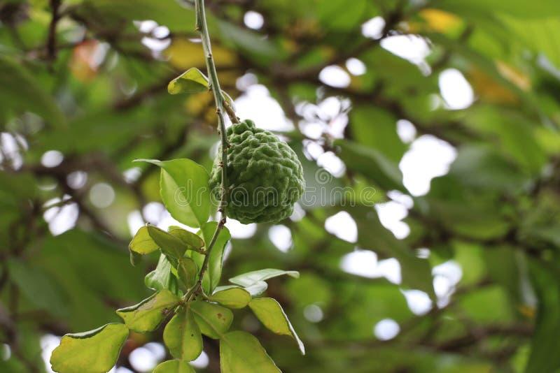 在树的香柠檬在自然本底中 免版税库存图片