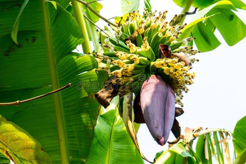 在树的香蕉花 免版税图库摄影