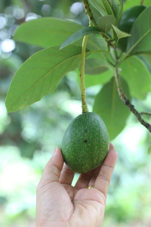 Download 在树的鲕梨,泰国果子,泰国 库存照片. 图片 包括有 宏指令, 对分, 乳脂状, 果子, 安哥拉猫, 健康 - 62526334