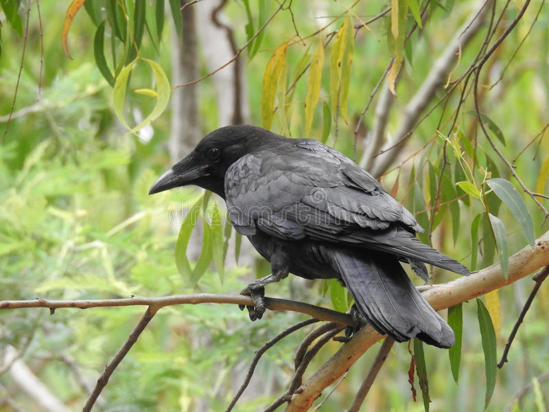 在树的鸟,澳大利亚掠夺 免版税库存图片