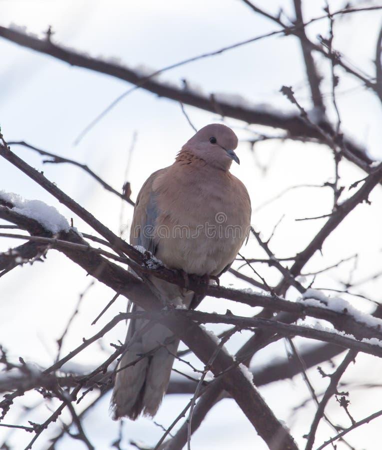 在树的鸠在冬天 免版税库存照片