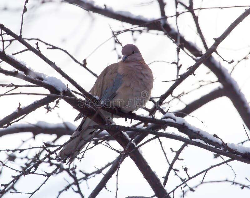 在树的鸠在冬天 库存照片