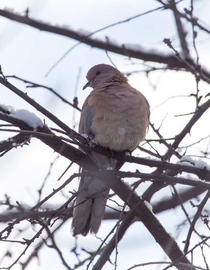 在树的鸠在冬天 库存图片